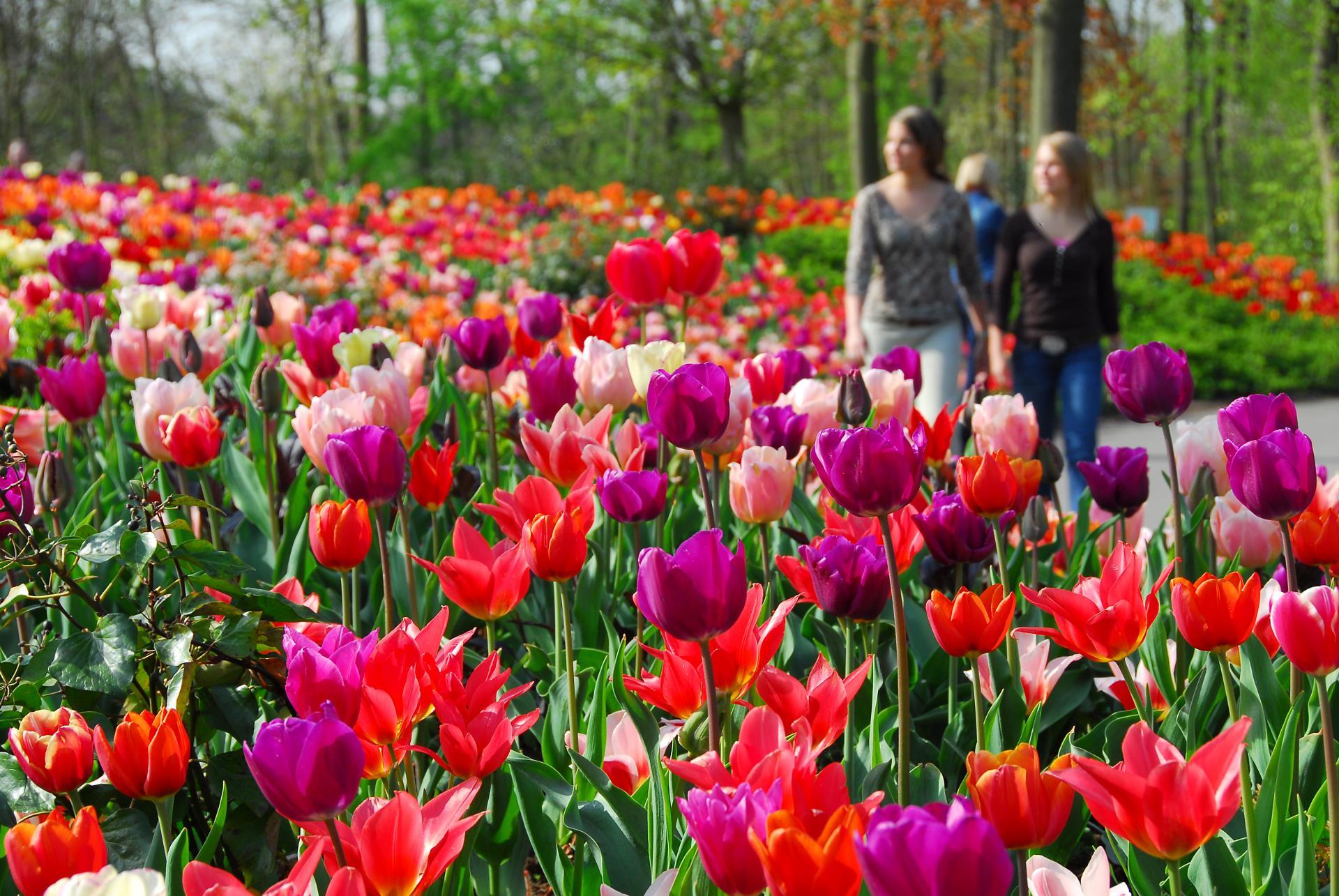 Holland: Tulpen