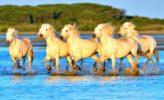 Weiße Pferde in der Camargue