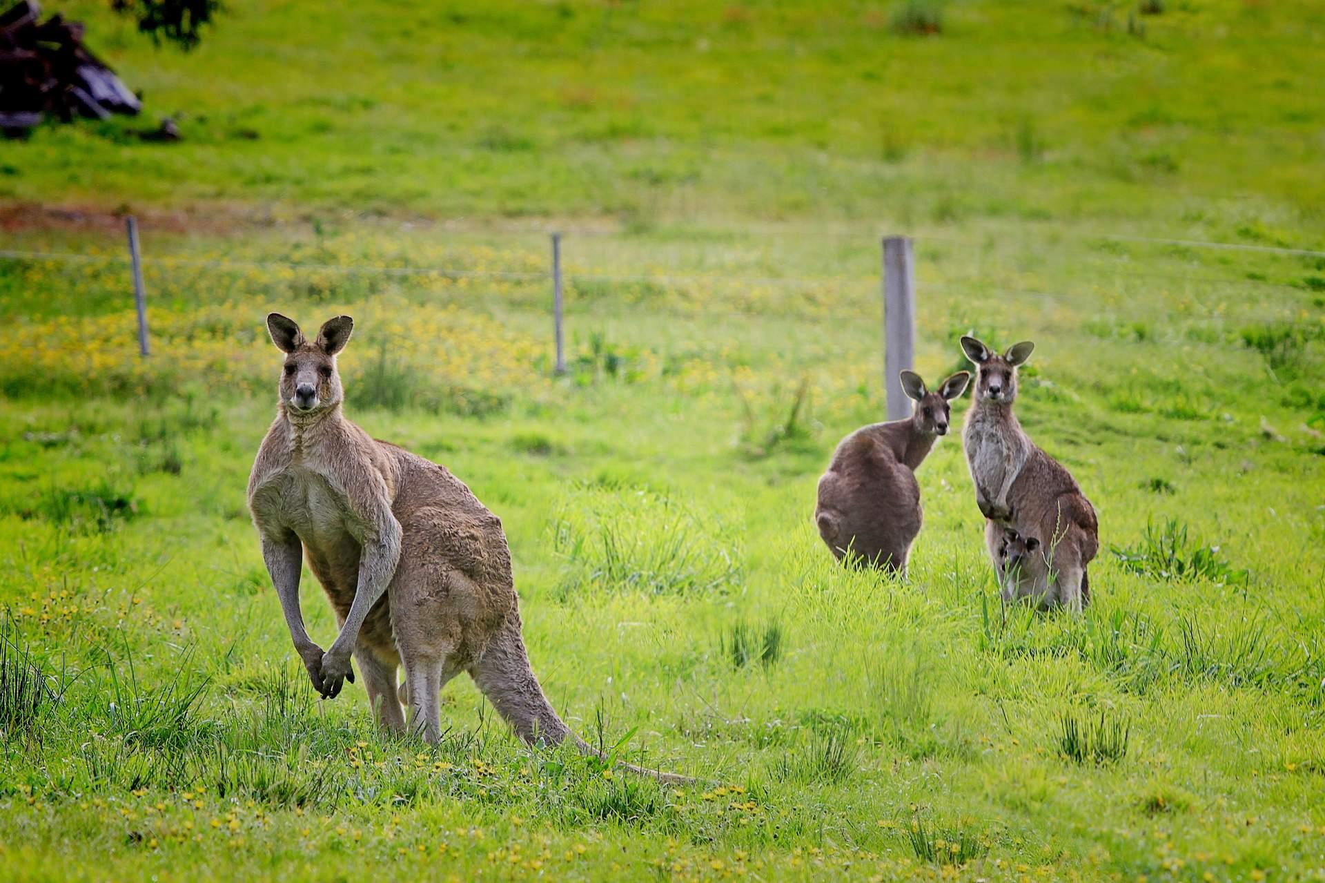 Australien: Kangaroo