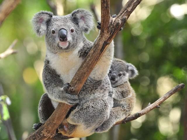 Australien: Koala